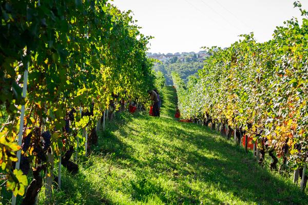 Bruno Rocca vineyards harvest Piemond Italy Social Vignerons