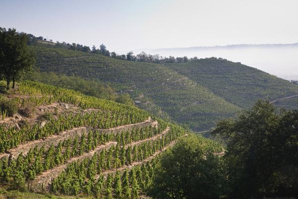 """E. Guigal vineyards in Condrieu, Rhone: Condrieu """"La Doriane"""" - Côteau de Chéry. Image © E. Guigal"""