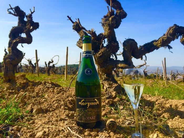 llopart leopardi sparkling wine bottle in vineyard old vines of catalunya
