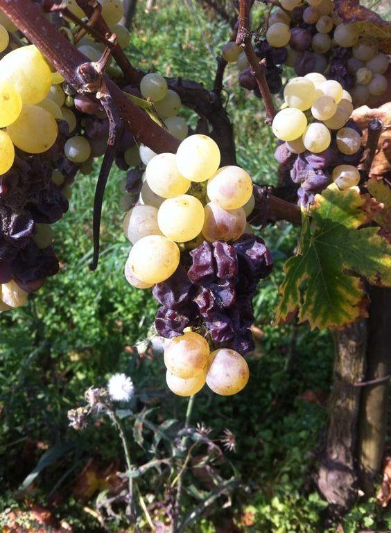 muscat-alsace-wine