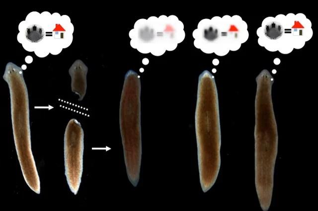 Experimentos mostram de forma convincente que as lembranças de planarias estão armazenadas fora de seus cérebros, em outros tecidos corporais. Imagem: Tal Shomrat e Michael Levin