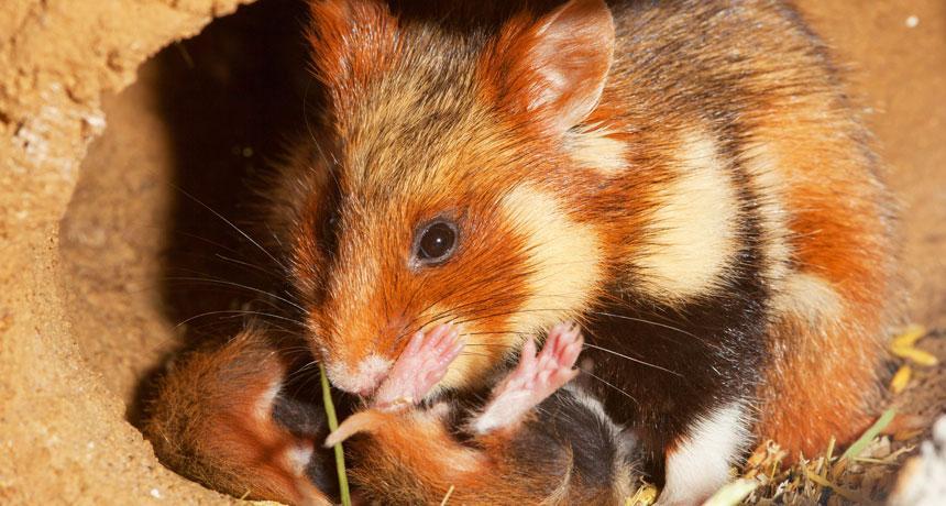 https://i2.wp.com/socientifica.com.br/wp-content/uploads/2019/06/Hamster-1.jpg?resize=860%2C460&ssl=1