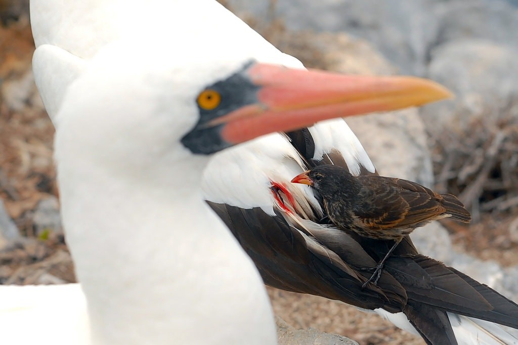 Os curiosos pássaros vampiros das ilhas Galápagos