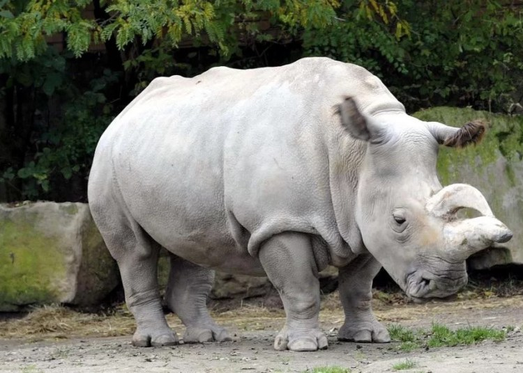 Resultado de imagem para rinoceronte branco