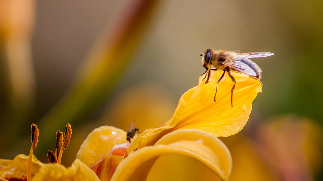 https://i2.wp.com/socientifica.com.br/wp-content/uploads/2019/06/bee-yellow-petal-flower-wallpaper.jpg?resize=1280%2C720&ssl=1