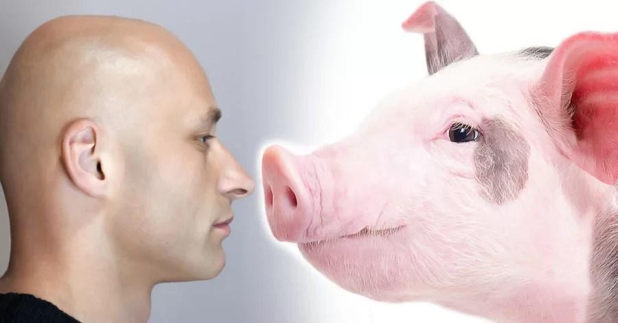 Corações de porcos poderão ser transplantados para humanos dentro ...