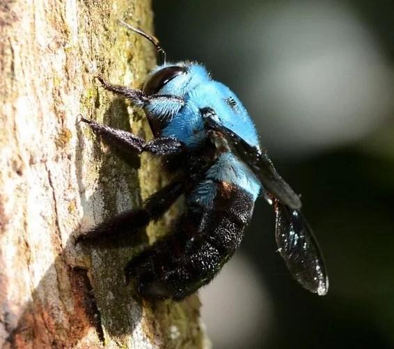 Uma linda abelha-carpinteira-azul