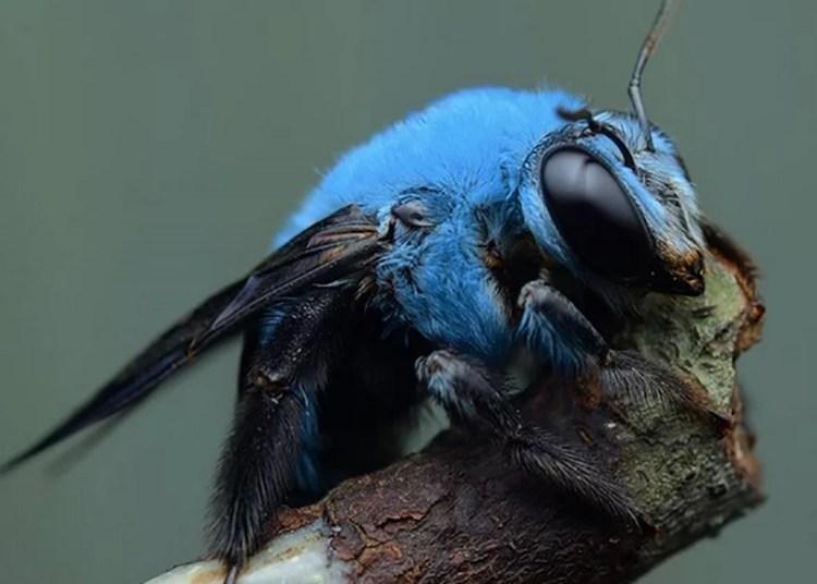 Abelha-carpinteiro-azul