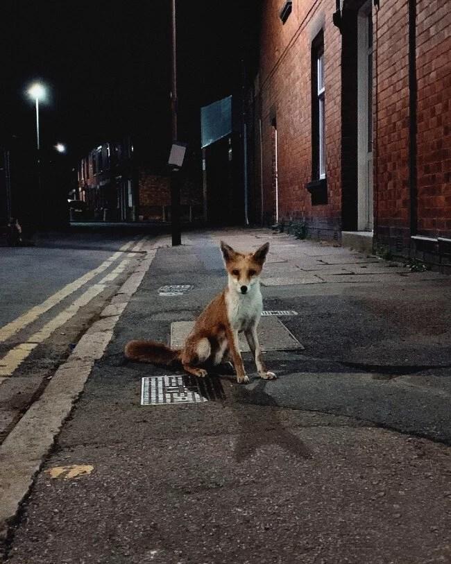 Raposas vivendo nas cidades