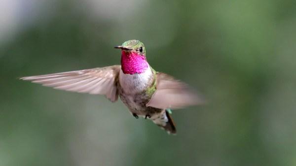 Beija-flores vêem cores incríveis