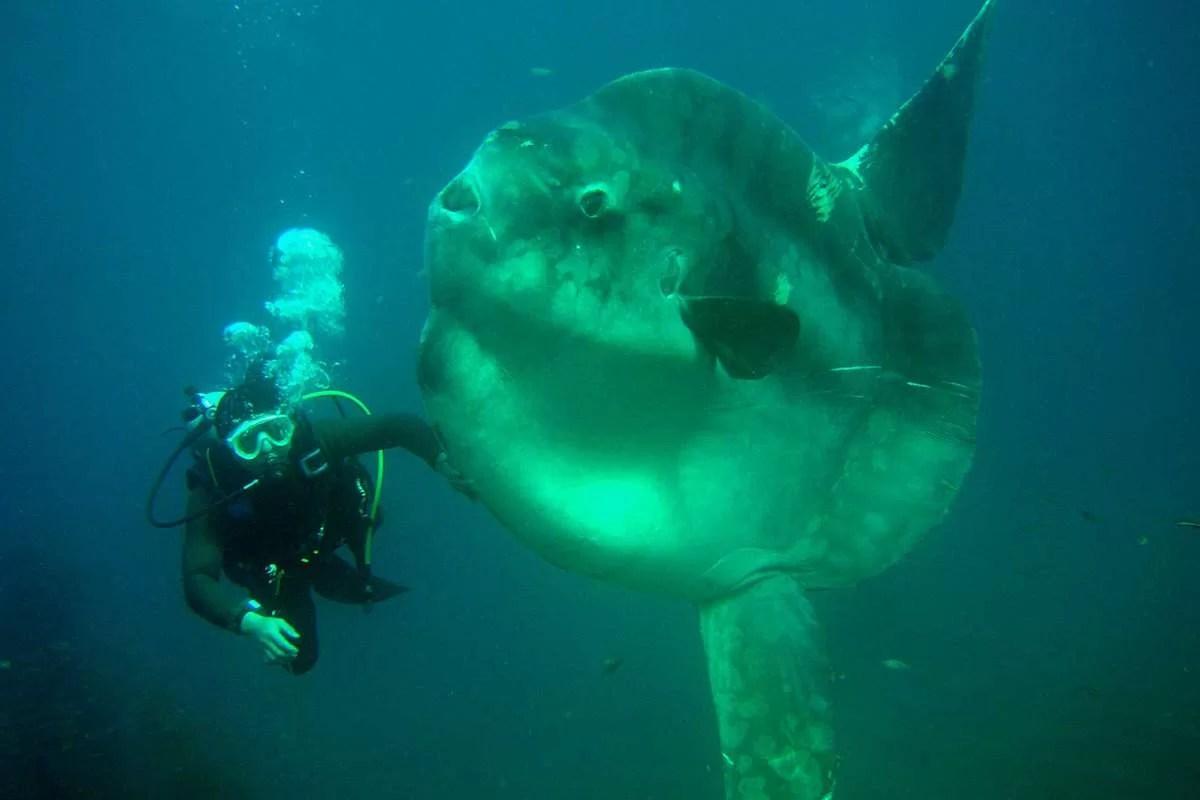 Peixe-sol ou Cabeça de galo (Mola alexandrini)
