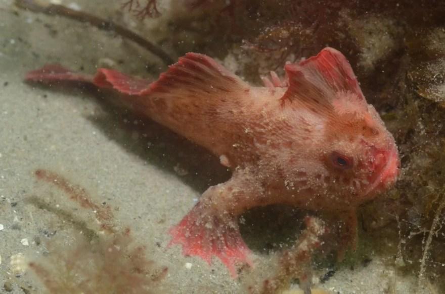 Um peixe estranho que caminha no fundo do mar