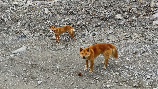 Science, https://www.sciencemag.org/news/2020/08/new-guinea-s-mysterious-singing-dogs-found-again-wild