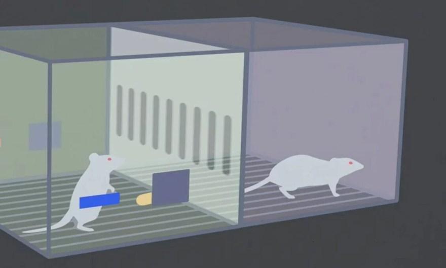 experimento com ratos