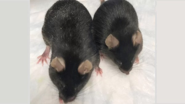 ratos-modificados-geneticamente
