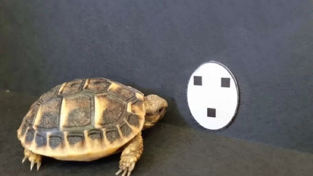 tartarugas-sao-fascinadas-por-rostos