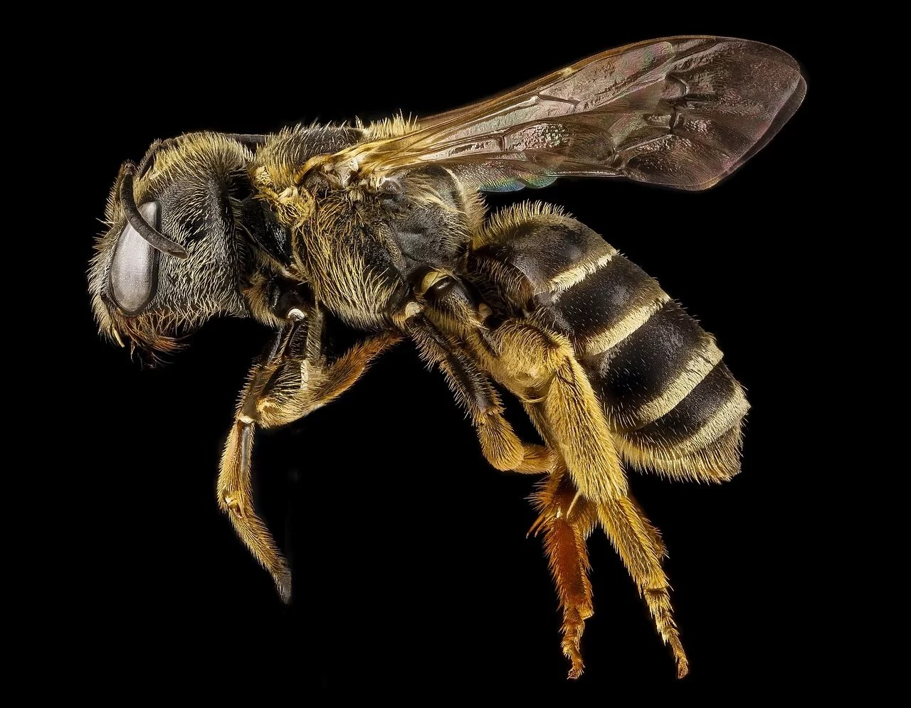 zangão abelha