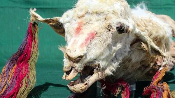 lhamas vítimas de rituais incas