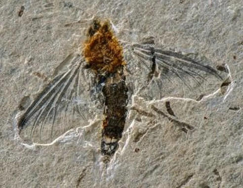 Fóssil de nova espécie de inseto