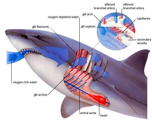 respiração do tubarão