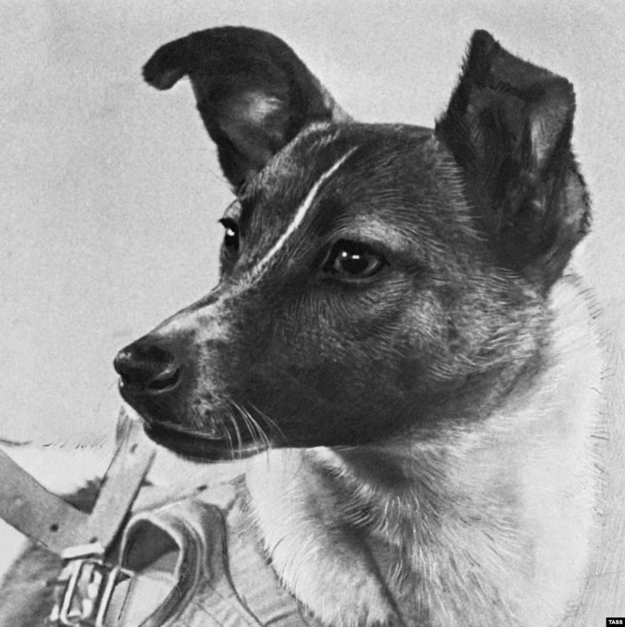 A cadelinha laika os cães mais famosos da ciência