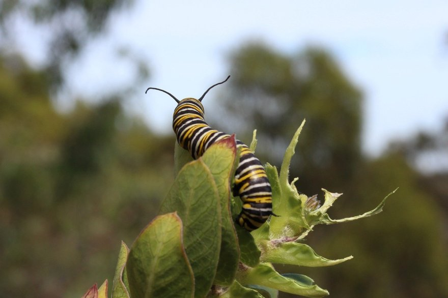 lagarta monarca