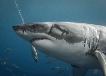 lulas gigantes atacam tubarões brancos no México