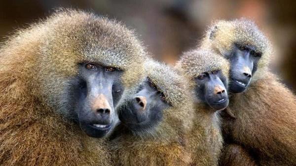 babuinos e a sua comunicação