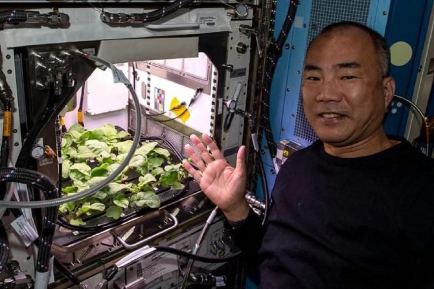 Rabanetes cultivados na ISS