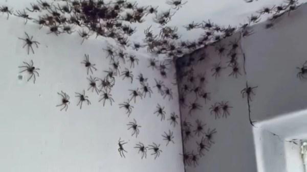 Centenas de aranhas canibais
