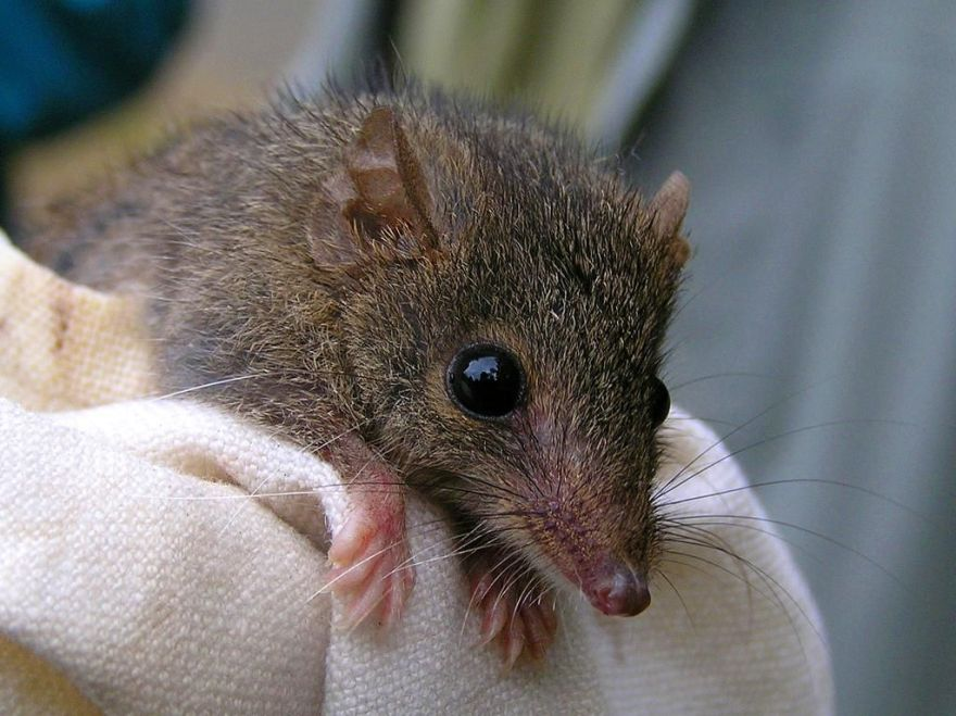 Rato-marsupial-australiano