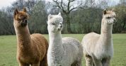 three-alpacas-in-field-jpg-600x315_q80_crop-smart