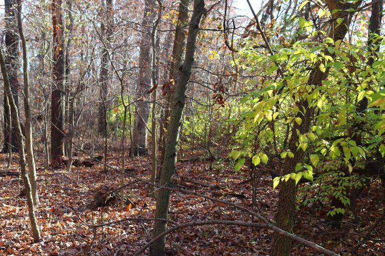 Clearing Invasive Bush Honeysuckle for Future Generations