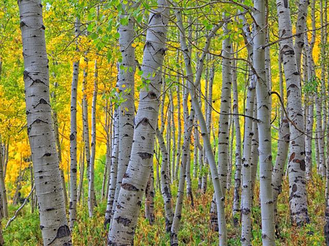 SUCAP Peaceful Spirit Aspen forest
