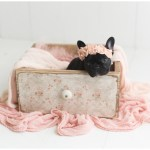 Olive Frenchie Puppy Newborn Photoshoot Socutephoto Com