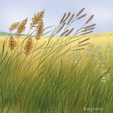 Perennial Grasses (pencil, digital)