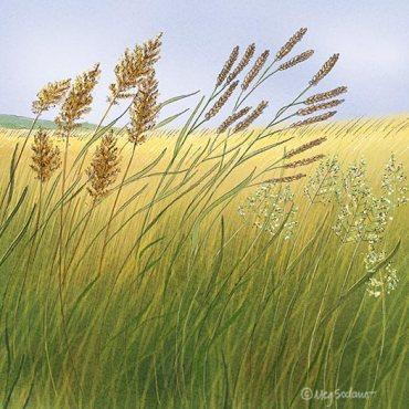 Perennial Grasses (pencil, digital)