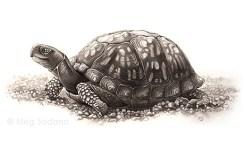 Eastern Box Turtle (ink)