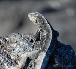 Lava lizard at Fernandina