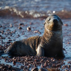 Sea lion pup, 5 days old