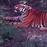गौरीगंगाको अन्डैयास्थित किसानको केरा बारीमा बिहानैदेखि बाघ