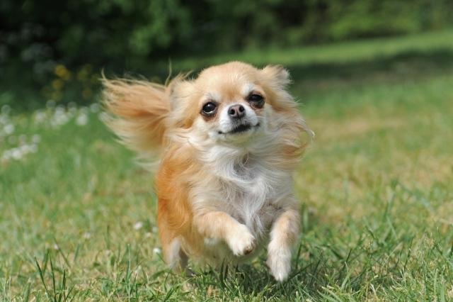 Il cane più piccolo del mondo (4)
