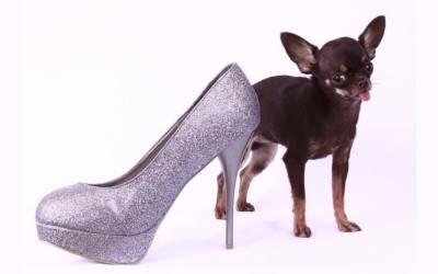 Il cane più piccolo del mondo? È un chihuahua!