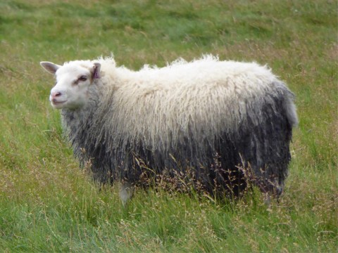 When everyone else was breeding sheep for uniformity, Iceland was doing the opposite