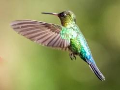 The Fiery-Throated Hummingbird's brash metallic iridescence is evident in this sunlit shot