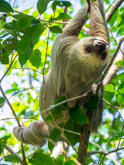 The two-toed sloth is nocturnal, but this one was on the move looking for a more peaceful tree after being disturbed by a troop of monkeys