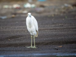 The adult version of this bird is indeed little and blue, but this juvenile hiding among the Cattle Egrets and Snowy Egrets was betrayed by his pale greenish legs