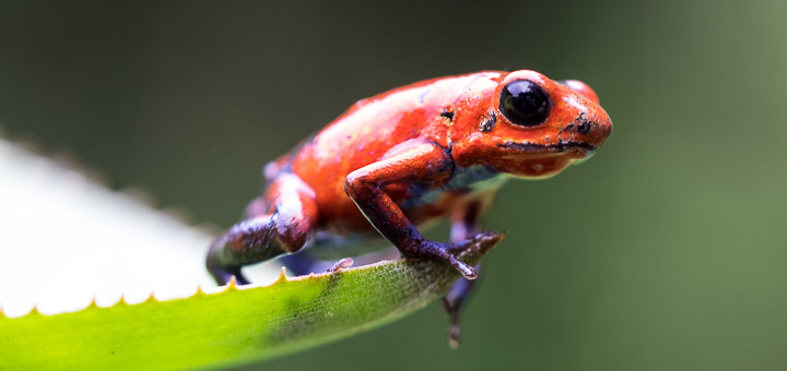 """The """"blue jeans"""" morph of the strawberry poison-dart frog is common throughout Costa Rica"""