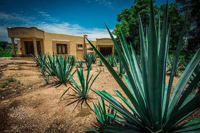Tequilana agave