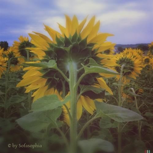 01_Sonnenblumenfeld
